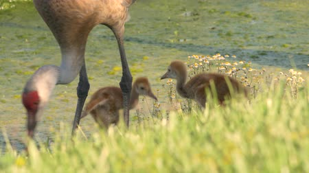 rywalizacja : Pair of Sand Hill Crane Chicks Follow Mom Along Water, 4K Wideo