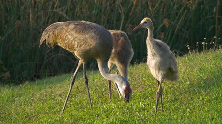 sandhill crane : Mother Sandhill Crane and Two Juvenile Chicks Walking Along Pond Edge, 4K