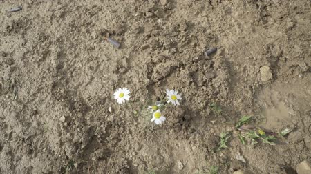 gorączka : Foot in a boot stepping on a daisy. Flower crushed Wideo