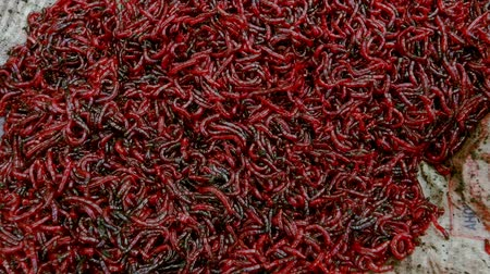 squirm : Bloodworm for feeding fish. Bloodworm bait for fishing. Worms for fishing