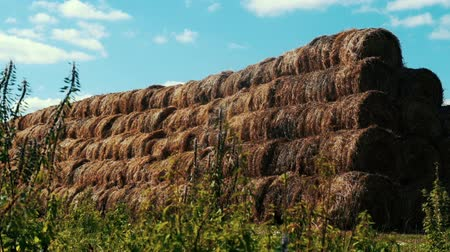 hay pile : Haystacks on farming field agricultural farm. Bales hay stacks Stock Footage