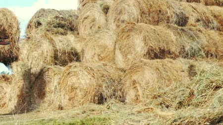 hay pile : Farming tractor laying hay stacks on farming field. Agricultural industry