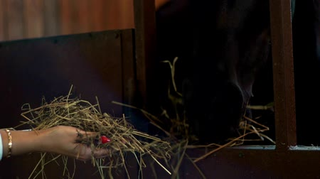 horse breeding : Black horse eating hay from hands owner in stall. Woman feeding horse at stable Stock Footage