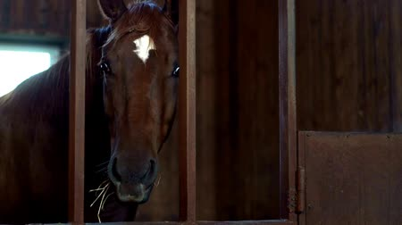 equestre : Horse standing in stall and eating hay. Horse breeding on livestock farm