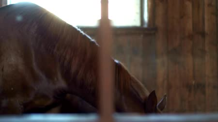 horse breeding : Horse standing in stall and eating hay. Brown horse eating hay in stable