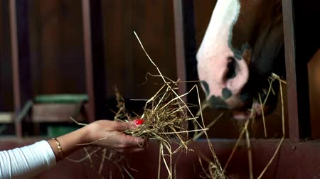 horse breeding : Brown horse eating hay from hands owner in stall. Livestock farming. Horse ranch