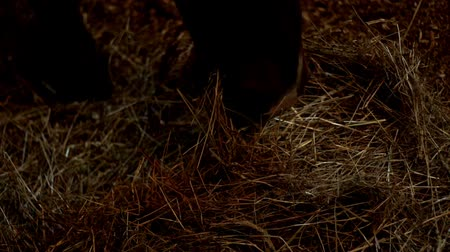 horse breeding : Horse eating hay that lying on floor stable house. Horse ranch. Domestic animal