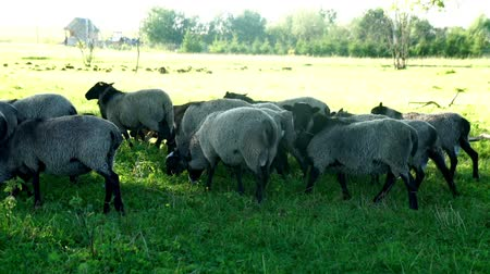 ewe : Herd of sheep and ram walking on green meadow at cattle farm. Domestic animal Stock Footage