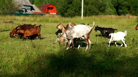 goatling : Goats herd walking on green meadow at cattle farm. Goat and goatling on farm