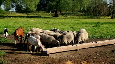 ewe : Herd of sheep and ram eating food from feed trough on pasture at animal farm