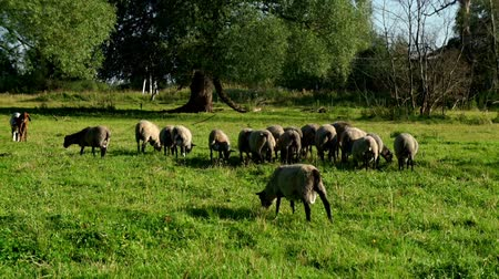 anyajuh : Flock sheep and ram eating fresh grass at rural farm. Domestic animal at ranch