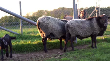 goatling : Goatling and two sheep standing on paddock at rural farm. Agricultural industry