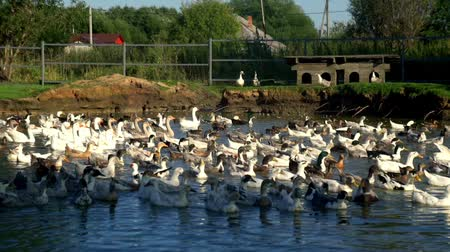 flock of geese : Flock of ducks and geese floating in water pond in bird farm. Poultry farming
