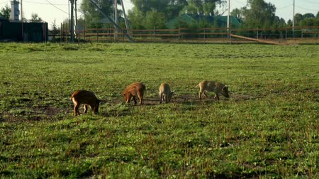 porquinho : Pigs eating green grass on field at livestock farming. Cute piglet at farm