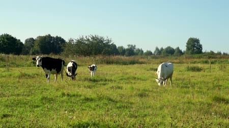 udder : Cows grazing on green meadow milk farm. Milking cows on livestock farming