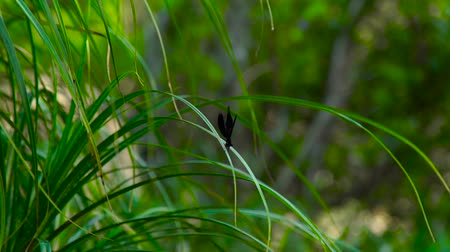 yaban hayatı : Black dragonfly sitting on green grass on natural background. Close up damselfly on green grass background. Life wild insects in nature.