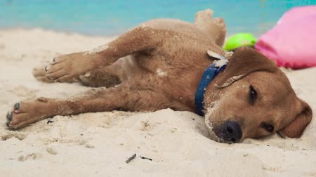 дворняжка : Cute dog lying on sand on sea beach. Funny dog sleeping and drowsing on summer beach on sea background.