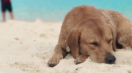 cur : Cute dog sleeping on sand on sea beach. Funny dog lying on summer beach on sea background.