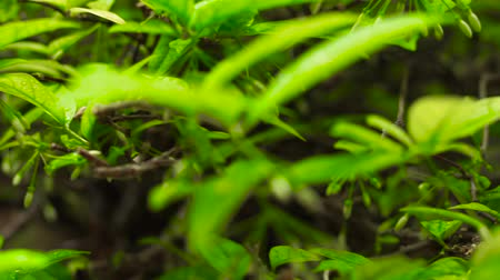floresta tropical : Green leaves and branches of trees in a summer forest after rain. Close up rain drops on green leaves of tropical plants in jungle. Morning dew on wet foliage of trees in rainforest. Stock Footage