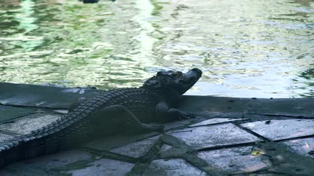predatório : Crocodile near water on crocodile farm. Breeding wild alligators and predatory reptiles on animal farm.