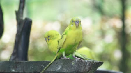 tur : Green budgerigar sitting on branch in wild nature. Close up green parrot bird on tree branch outdoor. Stok Video