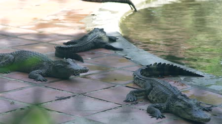 obojživelník : Crocodiles resting near water on crocodile farm. Breeding wild alligators and predatory reptiles on animal farm.