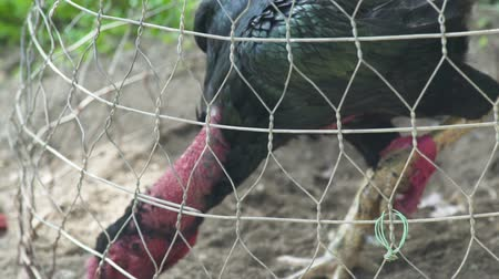 cockfighting : Black fighting cock in cage before cock fight. Fighting rooster for battle on ring. Stock Footage