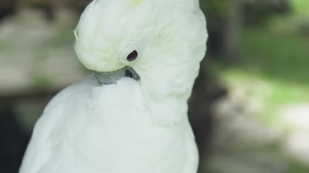 papagaio : White parrot cockatoo cleaning his feathers with paw and beak close up. Cockatoo parrot in wild nature.