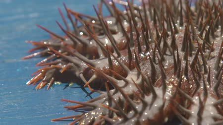 biodiverzitás : Close up crown of thorns Sea star. Underwater animal seastar with big thorns caught from water. Echinoderms animals in underwater world in ocean. Stock mozgókép