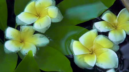 プルメリア : White flowers of Plumeria tree and green leaves on water surface close up. Beautiful frangipani flowers and green leaves background. Asian trees and plants.