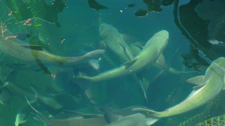 commercial cultivation : Sea fish floating in water on farm. Breeding and cultivation, fish farming in open sea water space.