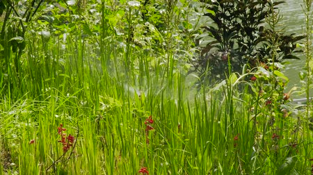 sprayer : Lawn sprinkler irrigating with water green grass and flowers in summer garden. Close up water sprinkler watering grass and flowers on green lawn in garden. Stock Footage