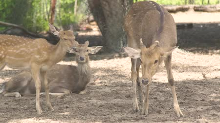 олененок : Spotted fallow deer in animal park close up. Family sika deer. Wild forest animal in nature reserve.