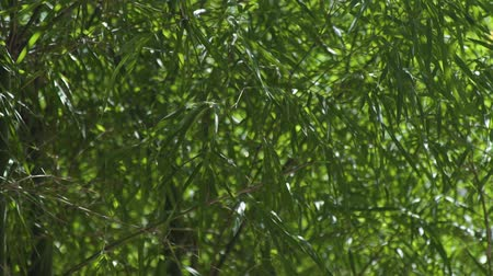 тростник : Green bamboo foliage waving on wind in tropical forest. Close up leaves of green bamboo tree.