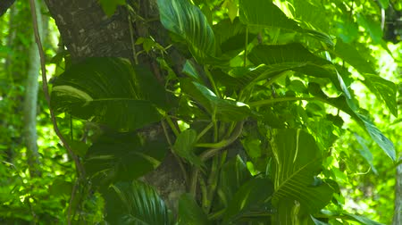 liaan : Green foliage climbing plants and liana on trunk tropical tree in rainforest. Background green foliage jungle plant and trees in tropical forest.