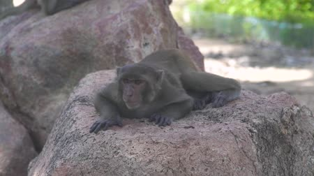 primates : Cute monkey lying on stone in tropical forest landscape. Close up monkey relaxing in rainforest in jungle. Wild animal in nature reserve.