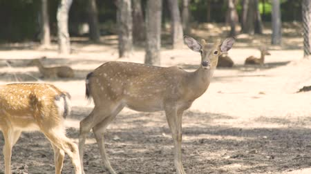 лань : Spotted fallow deer in animal park close up. Cute sika deer. Wild forest animal in nature reserve.