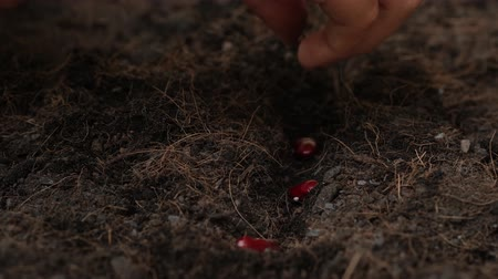 4k close up hand planting red bean seed and cover by black soil 影像素材