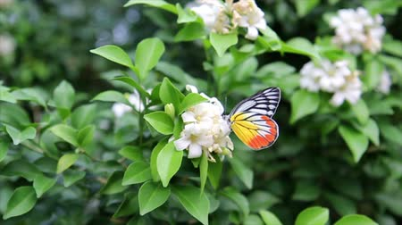 small park : Butterfly with white flowers and with green leaves in park
