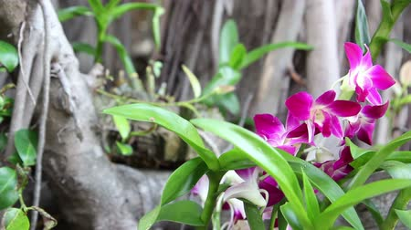 dendrobium : beautiful Thai orchid flower in a botanical garden. Dolly shot close-up Stock Footage