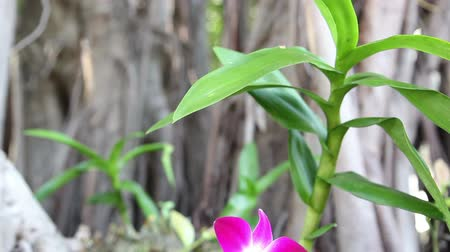 vanilya : beautiful Thai orchid flower in a botanical garden. Dolly shot close-up Stok Video