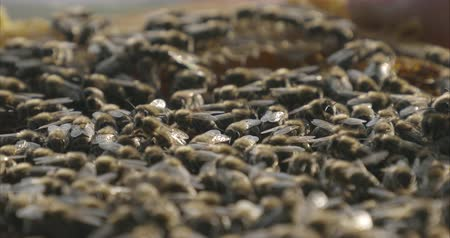 pólen : Bees close up