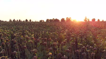 Flight over field of dried sunflower at the sunset 3
