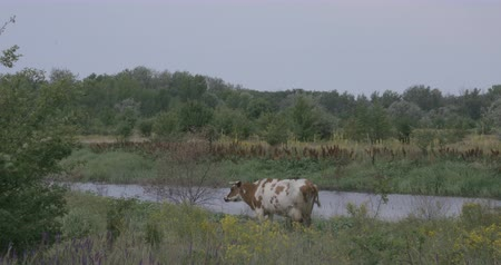 pastar : Cow by the river