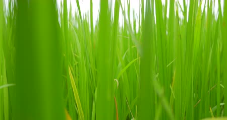 мягкость : Close up motion into Rice field