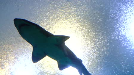 shark : big shark swiming in sea aquarium Stock Footage