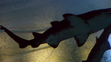 ploutve : big shark swiming in sea aquarium Dostupné videozáznamy