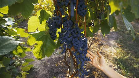カベルネ : Farmer Inspecting His Ripe Wine Grapes Ready For Harvest. 動画素材