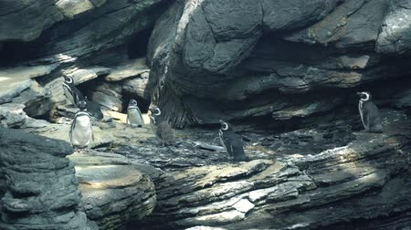 pinguim : penguins brush feathers on rocks Stock Footage