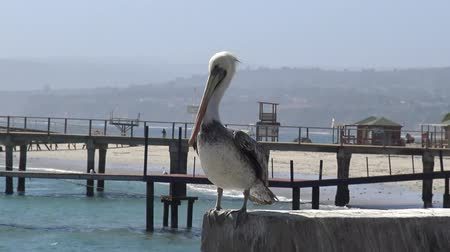 bird sanctuary : Pelicans at a beach side
